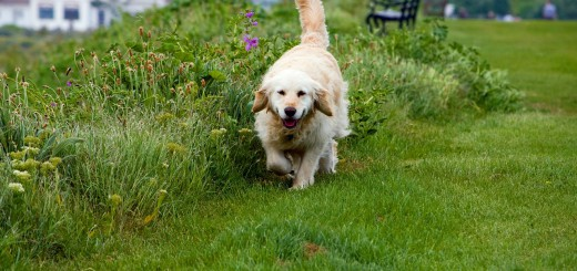 golden-retriever-76872_1280